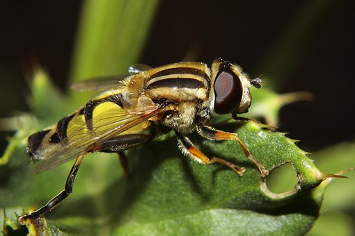Hoverfly, Insect, Macro, Large Campestris, Nature