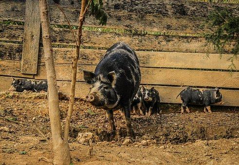 Pigs, Sow, Piglets, Pigsty, Mammal, Domestic, Livestock