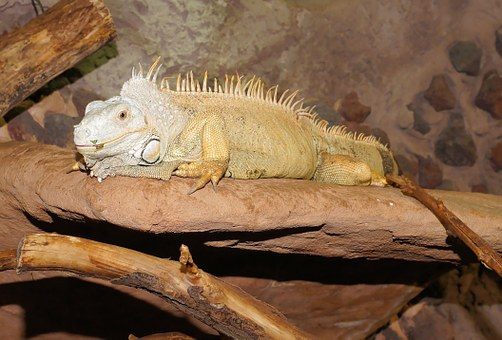 Lizard, Reptile, Iguana, Scale, Insect Eater, Rock