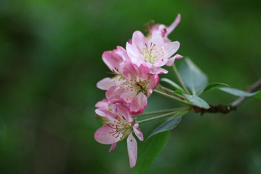 Flower, Apple, Malus, Garden, Nature, Pink, Apple Japan