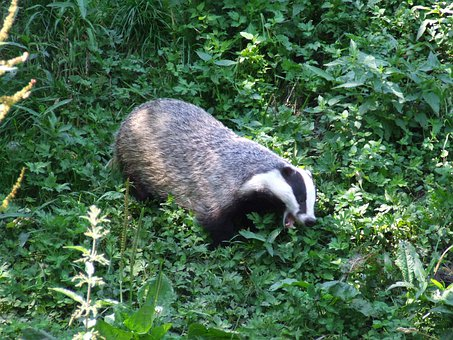 Badger, Animal, Nature, Forest, Green, Morning, Mammal