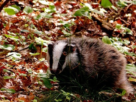 Badger, Forest, Wild, Nature, Animal, Forest Floor