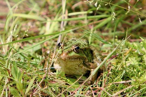 Frog, Tree Frog, Toad, Amphibians, Nature, Animal