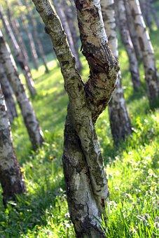 Birch, Intertwined, Tree, Forest, Park, Landscape