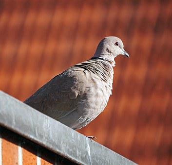 Dove, Roof, Ledge, Observation, Plumage, Young Pigeon