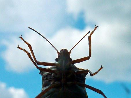Insect, Stink Bugs, Shield Bugs, Chinch Bugs
