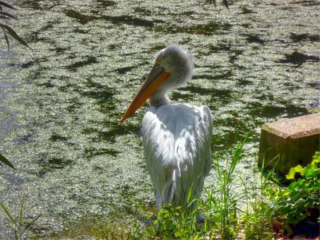 Pelikan, Zoo, Hdr, Water, Light, Soft Shadow, Animal