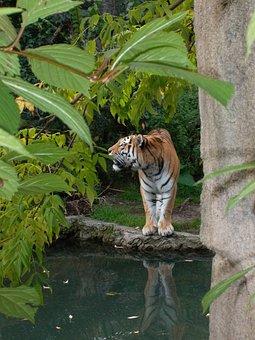 Tiger, Wild, Zoo, Big Cat, Predator, Cat, Paw