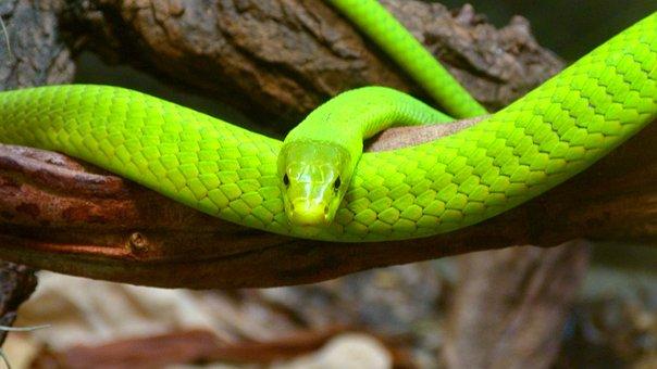 Green Mamba, Snake, Toxic, Dangerous, Scale