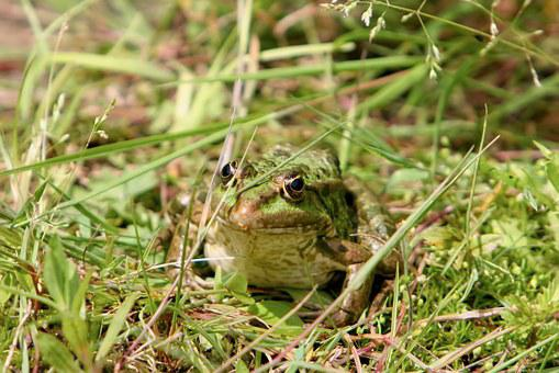 Frog, Tree Frog, Toad, Amphibians, Nature, Animal