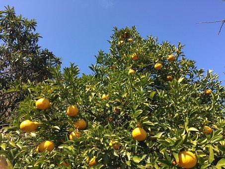 Watson Pomelo, Mandarin Oranges, Tree Of Oranges, Fruit