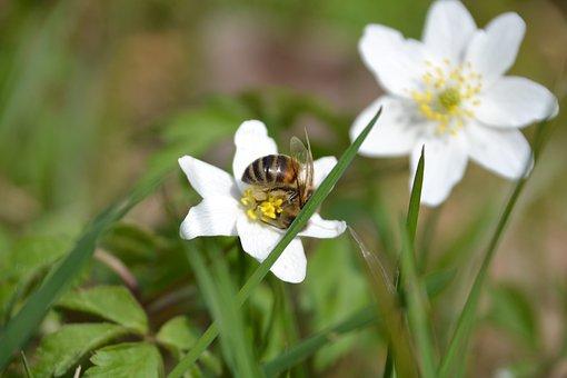 Feral, Caltha Palustris, White, Bee