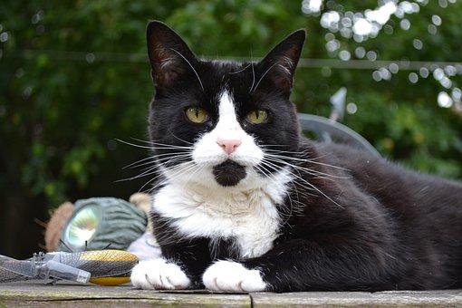 Cat, Feline, Black, White, Domestic Short Hair, Female