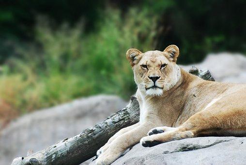 Lioness, Wildlife, Mammal, African, Safari, Wild