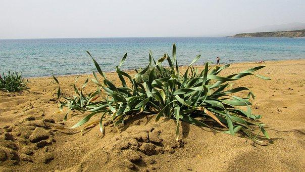 Cyprus, Akamas, National Park, Plant, Ammophilous