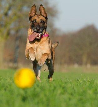 Malinois With Ball, Belgian Shepherd Dog, Ball Junkie