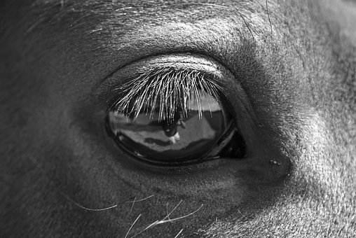 Black And White, Horse, Eye, Close-up, Macro, Animal