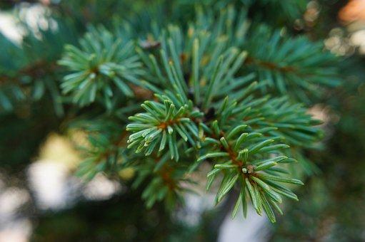 Pine, Conifer, Green, Bough