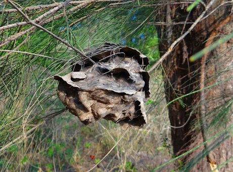 Ant Nest, Nest, Casuarina Tree, Twig, Leaves, Forest