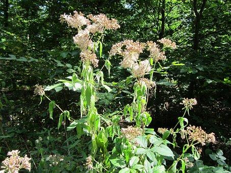 Eupatorium Cannabinum, Hemp-agrimony, Holy Rope, Plant