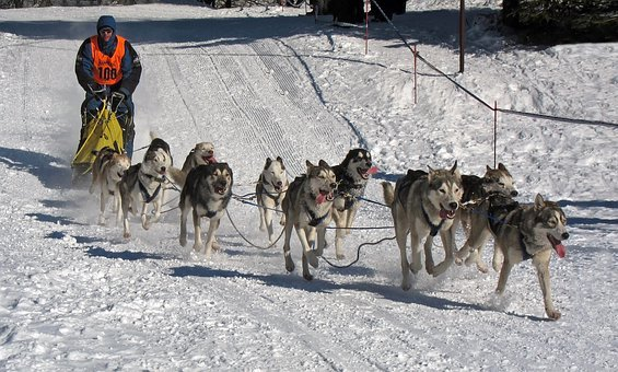 Dogs, Race, Musher, Competition, Winter, Snow, Ice