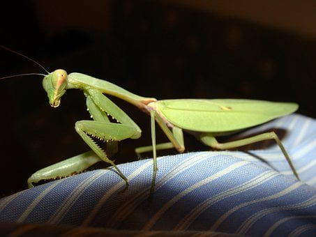 Praying, Mantis, Mantids, Insect, Green, Flight Insect