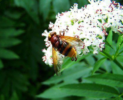 Gadfly, Insect, Nature