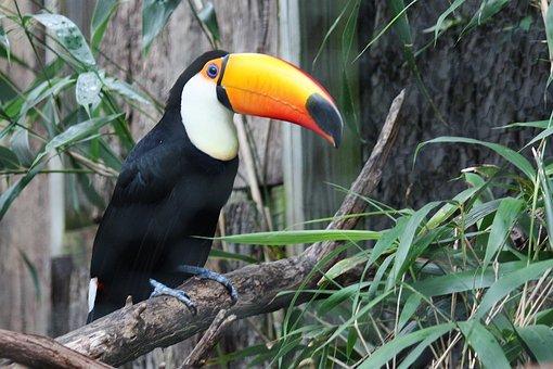 Toucan, Bird, Jungle, Zoo, Exotic, Beak