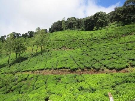 Tea Estate, Munnar, India