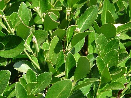 True Laurel, Plant, Laurus Nobilis, Noble Laurel