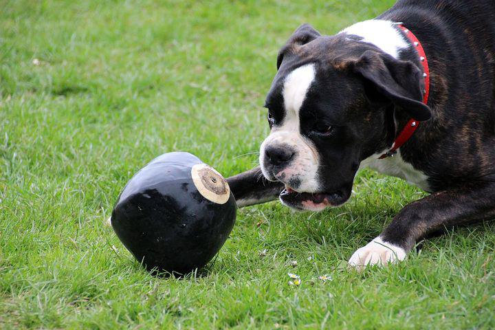 Dog, Boxer, Pet, Black And White, Play, Ball