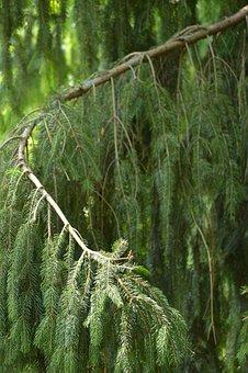 Bough, Bend, Pine