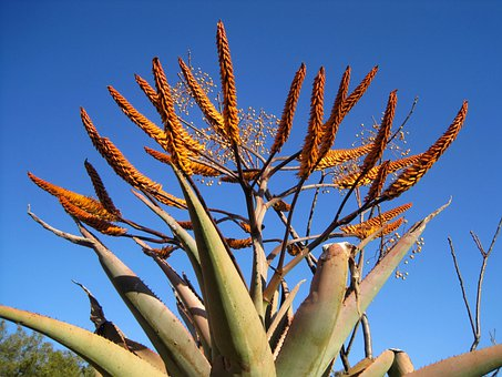 Aloe, Plant, Succulent, Flowers, Orange