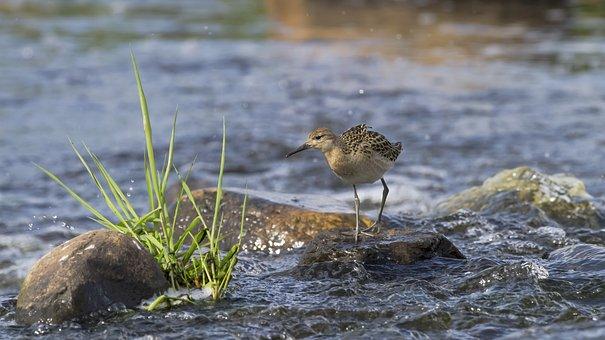 Ruff, Bird, Stone, Rapids, Water, River, Puurijärvi