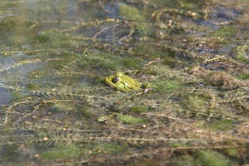 Frog, Toad, Urmonster, Amphibians, Swamp, Wetland