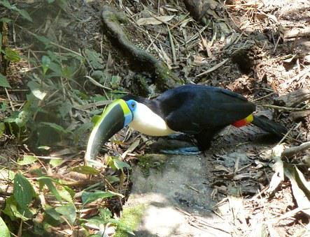 Toucan, Bird, Bill, Beak, Colorful, Exotic