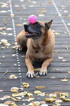 Malinois, Dog With Ball, Sweet, Wooden Bridge, Trick
