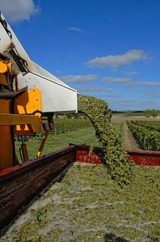 Harvest, Vines, Agriculture, Viticulture