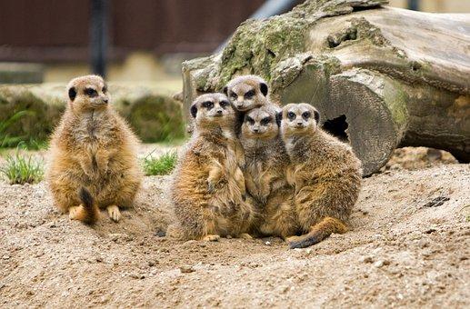 Meerkat, Meerkats, Animal, Animals, Wild, Wildlife
