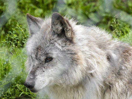 Grey Wolf, Wolf, Wild, Animal, Wildlife, Nature, Mammal