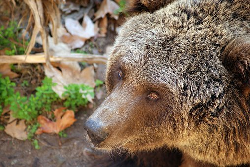 Bear, Grizzly, Wildlife, Carnivore, Mammal, Predator