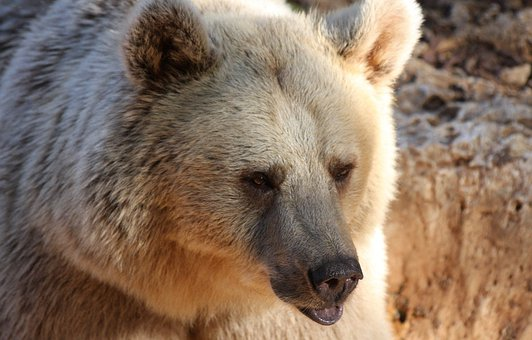 Bear, Grizzly, Wildlife, Brown, Wild, Mammal, Fur