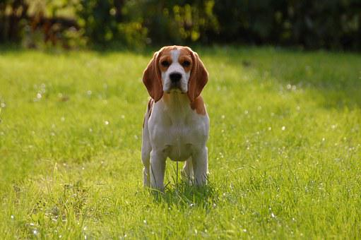 Dog, Puppy, Beagle, Doggy, Animal, Breed, Bigel