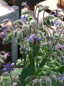 Borago, Flower, Blossom, Borage, Officinalis