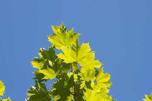 Leaf, Sun, Blue Sky, Towards The Light, Green Leaf