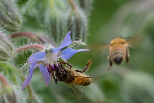 Bee, Insects, Borage, Hub, Makro, Affix, Flowers