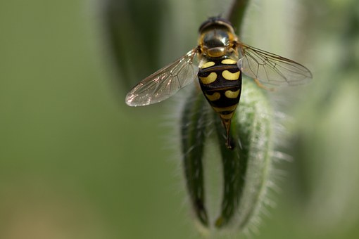 Hover Fly, Insect, Flower Fly, Eupeodes Luniger, Borage