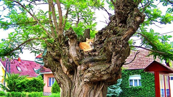 Cat, Acacia, Red Cat, Street
