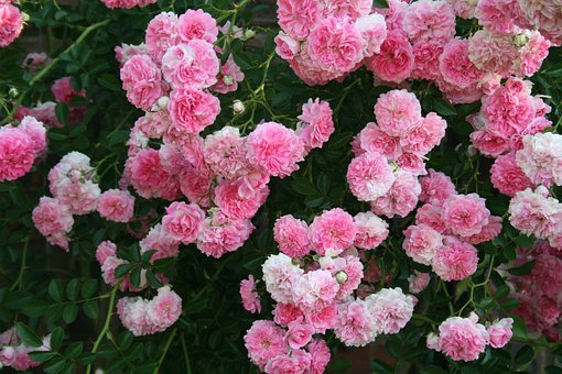 Rose, Flowers, Pink, Blooms, Massed, Rambling, Creeper