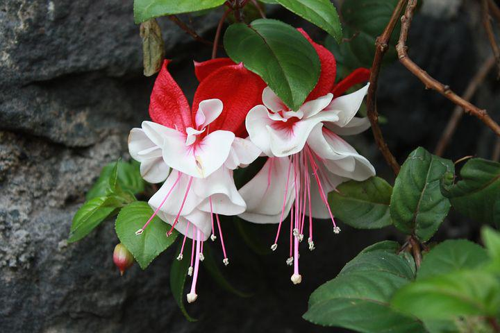 Flower, Fuchsia, Tendrils Of Queen, Nature